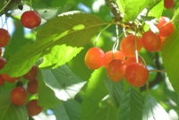 nape cherries in the sunlight